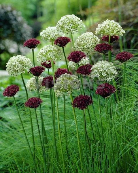 Bunga rumput 02